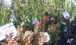 Proteas and Leucadendrons available in 15cm pots $10.00