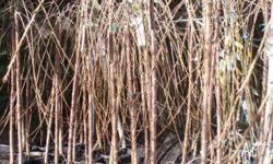 Prunus Weeping Cherries available up to 2m tall $60.00
