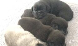 Pug cross foxy pups for sale to good homes only ,