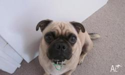 Marley is a very affectionate male pug who likes to