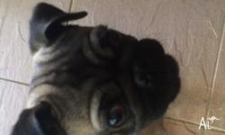 Pug puppy for sale in Castle Hill area. To date this
