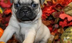 Beautiful pug babies are now available to selective new