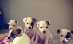 Puppies are wormed and ready for a loving family from
