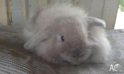 I have 2 male cashmere mini lops up for sale. Have been