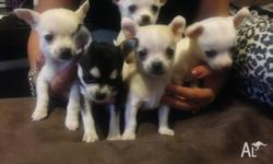 Pure Bred chihuahua puppies for sale 6 weeks old on the
