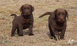 FOR SALE Pure Bred Chocolate Labrador Pups from