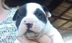 I have 4 gorgeous little pure bred English Staffy pups