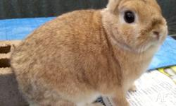 Pure bred female Netherland dwarf rabbit for sale. 2