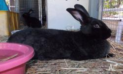 I have both male and female young Flemish Giant bunnies