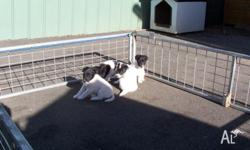 for sale fox terrier puppys 2 female 2 male they are