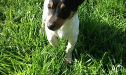 We have 1 male and 1 female Jack Russell pure bred