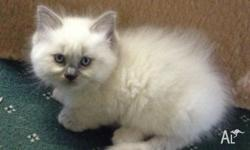 Beautiful Pure Bred Ragdoll kitten offered by