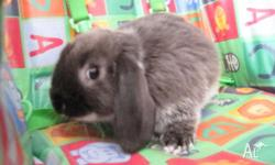 I have 5 pure bred mini lop bunnies. They are 6 week