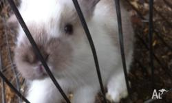 Pure bred mini lop rabbits 5 weeks old Ready to go
