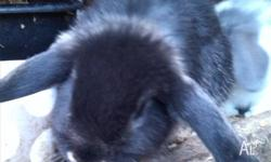 I have two mini lop babies for sale a blue otter and a