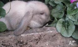 I have 5 pure bred mini lop bunnies 7 weeks old, ready