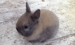 Smallest of the rabbit breed , small bodies and tiny