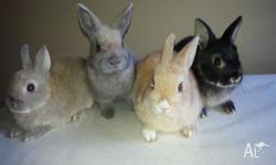 4 Pure Bred Netherland Dwarf Rabbits born on the