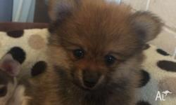 Lovely little Pomeranian puppies ready to go to new