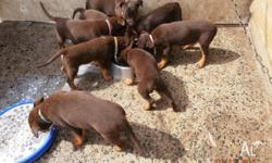 Pure Bred Red and Tan Kelpie Pups 2 Male 2 Female