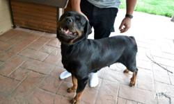 Pure bred Rottweiler- Entire female. Natural bobtail.
