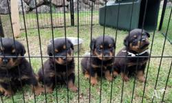 Pure bred Rottweilers- Strong working bloodlines. 4