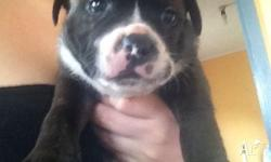 We have 5 beautiful pure bred male Staffy pups for