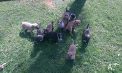 Pure breed American Staffy's from loving home..