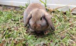 I have one male and one female pure beed Dwarf lop