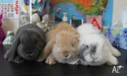 I have three lovely purebreed mini lop rabbits for