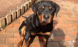 PURE BREED ROTTWEILER MALE 11 MONTH OLD HIS A GERMAN