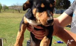 Pure bred kelpie pups. Big size frame and plenty of