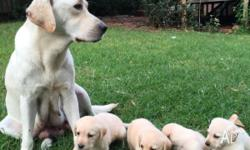 Nine beautiful pure Labrador puppies are starting to