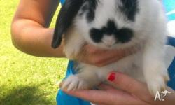 Pure lop ear rabbits Male and female available 1 blk