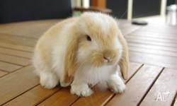 Pure Bred Mini lop ear 6 weeks old Friendly rabbit No
