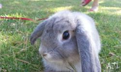 1 x male mini lop 1x large cage with water bottle its a