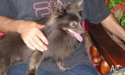 Pure bread Pomeranian female 2 years old need new owner
