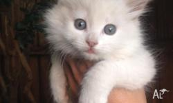 Pure white kittens 1M, 1F and 1 M black & white