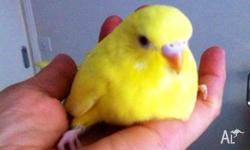 Hello, I have some stunning baby budgies hand tame pure
