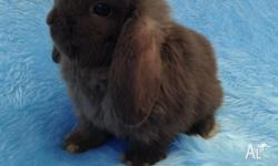I have 3 purebred Mini Lop Girls available this Friday