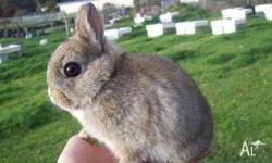 Purebred Netherland Dwarf Rabbit For Sale. Agouti Buck