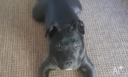 4 month old Male purebred american stafforshire