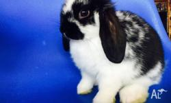 2 Lovely purebred baby mini lop bunny , very