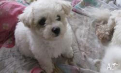 Purebred Bichon Frise Puppies for sale. Beautiful