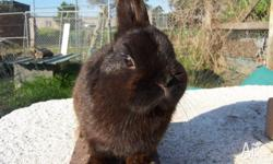 Purebred Netherland Dwarf Rabbit For Sale. Candylane