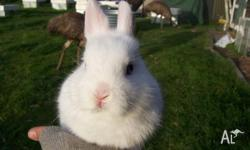Purebred Netherland Dwarf Rabbit For Sale. Blue Eyed