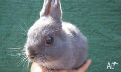 Purebred Netherland Dwarf Rabbits For Sale. Blue Doe -
