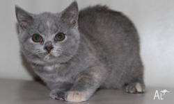 A stuning blue cream british shorthair female is