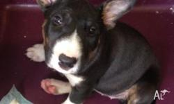 purebred bull terrier pups, 6 weeks old, microchipped &