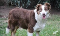 Beautiful natured 19 month old purebred Border Collie